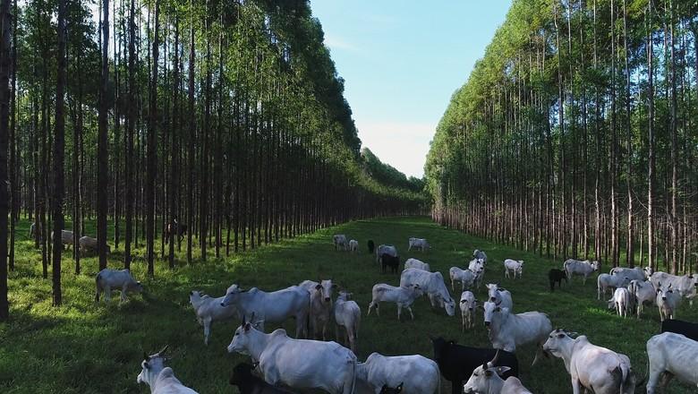 Fazenda Santa Vergínia Agro. Produção em modelo de IPF serve de base para carne carbono neutro (Foto: Reprodução G1)